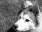 kupno-husky