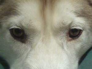 oczy-husky2