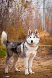 husky-las