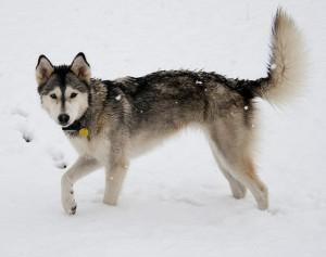 husky-snieg