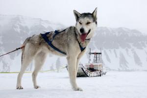 Husky-Alaska