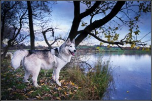 husky-woda
