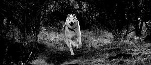 bieg-husky