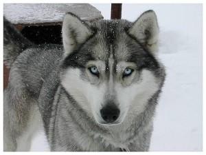 Husky-pies