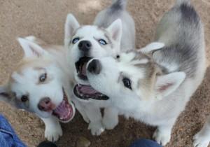 szczeniaki-husky